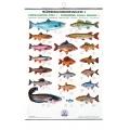 Poster cu pestii din apele dulci FIAP I #2200
