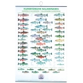 Poster cu salmonidele europene FIAP #2202